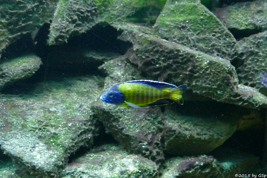 Blauer Kaiserbuntbarsch (Grants Malawibuntbarsch)