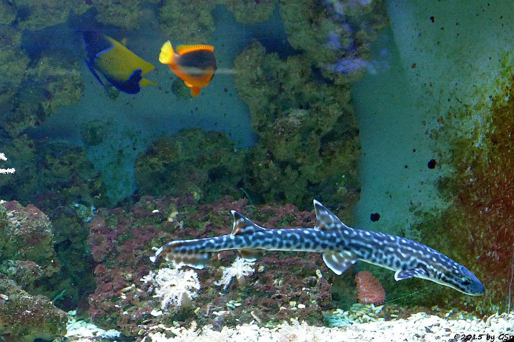 Traumkaiserfisch, Korallen-Katzenhai