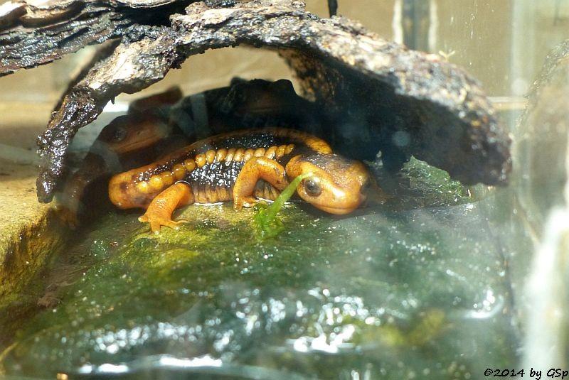 Gelber Chinesischer Krokodlimolch Jungtiere (Eiablage und erste Larven April 2013)