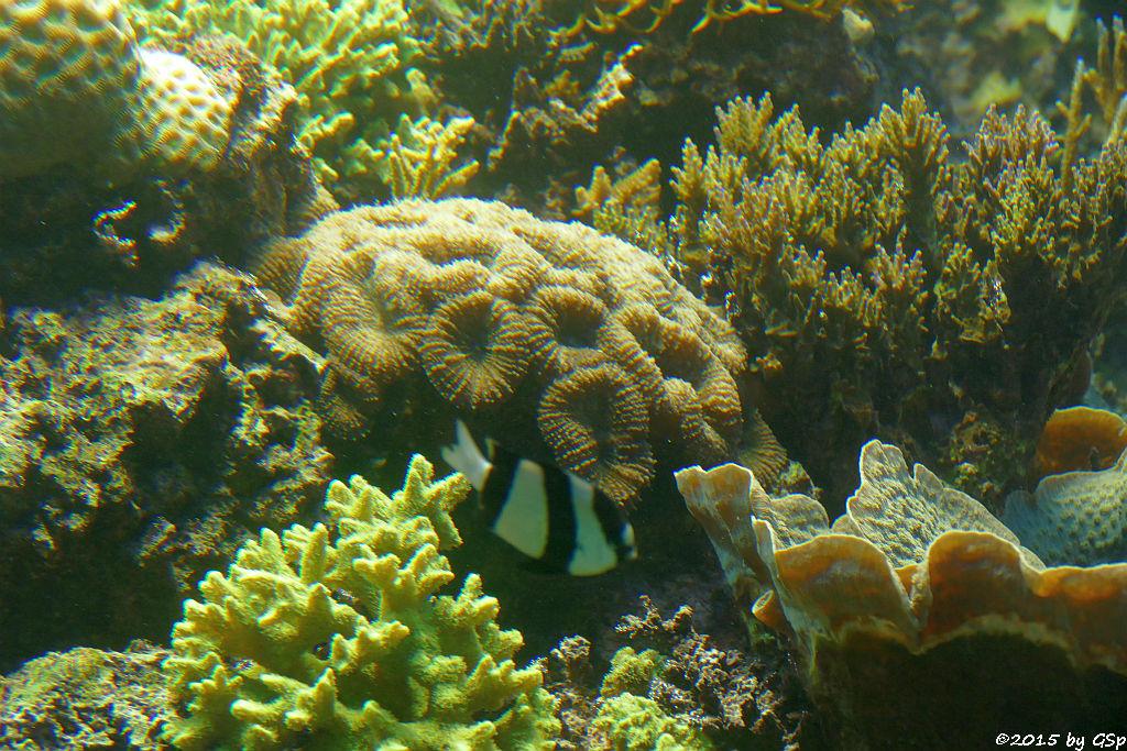 Dreibinden-Preußenfisch