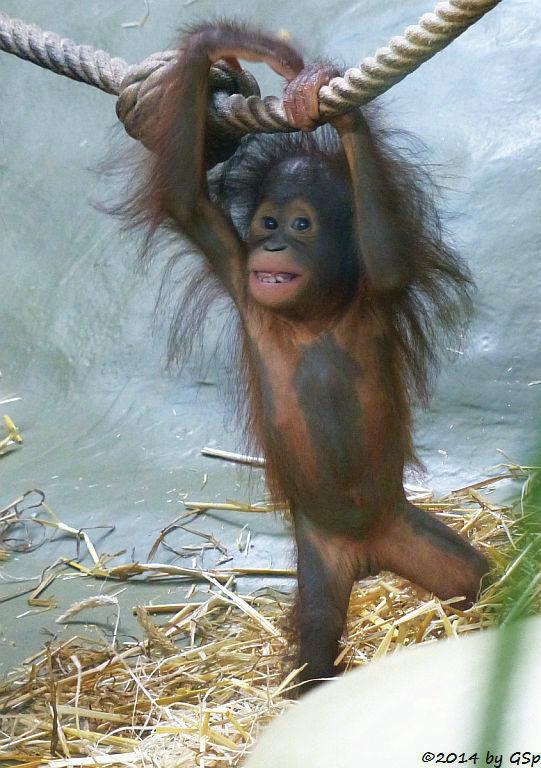 Borneo-Orang-Utan CIRI