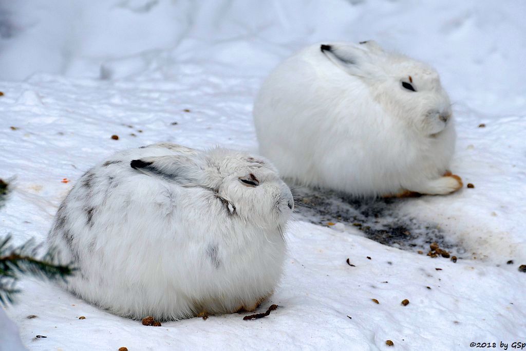 Alpenschneehase