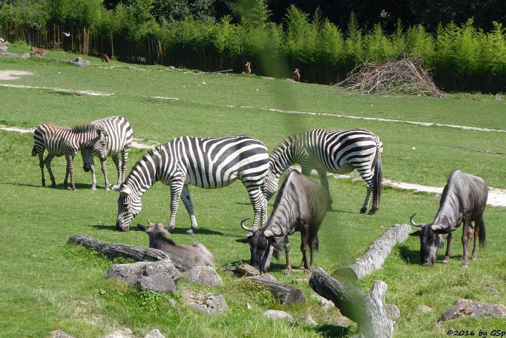 Böhm-Steppenzebra (Grantzebra), Streifengnu, Impala (Schwarzfersenantilope)