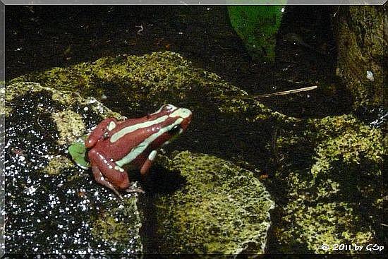 Dreifarbiger Pfeilgiftfrosch