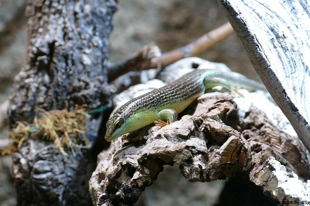 Getüpfelter Smaragdskink (Olivfarbener Baumskink)