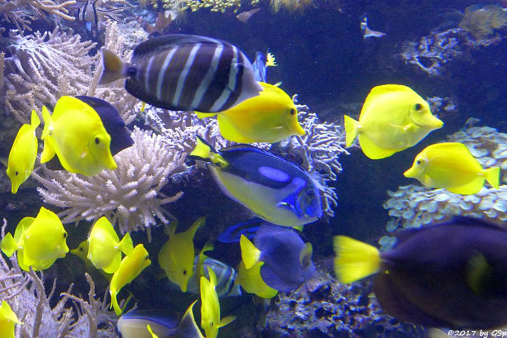 Gelber Segelflossen-Doktorfisch, Pazaifischer Segelflossendoktorfisch, Paletten-Doktorfisch,