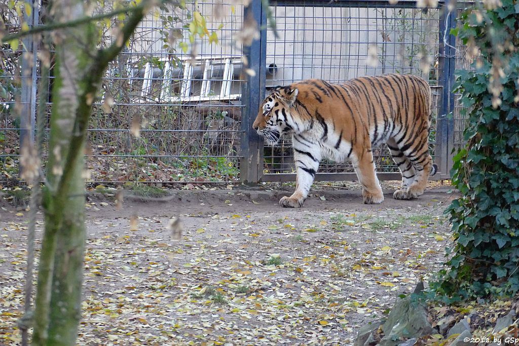 Amurtiger (Sibirischer Tiger, Mandschu-Tiger) SERGAN