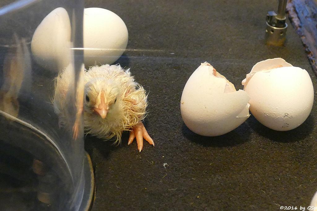 Hühnerküken im Schaubrüter