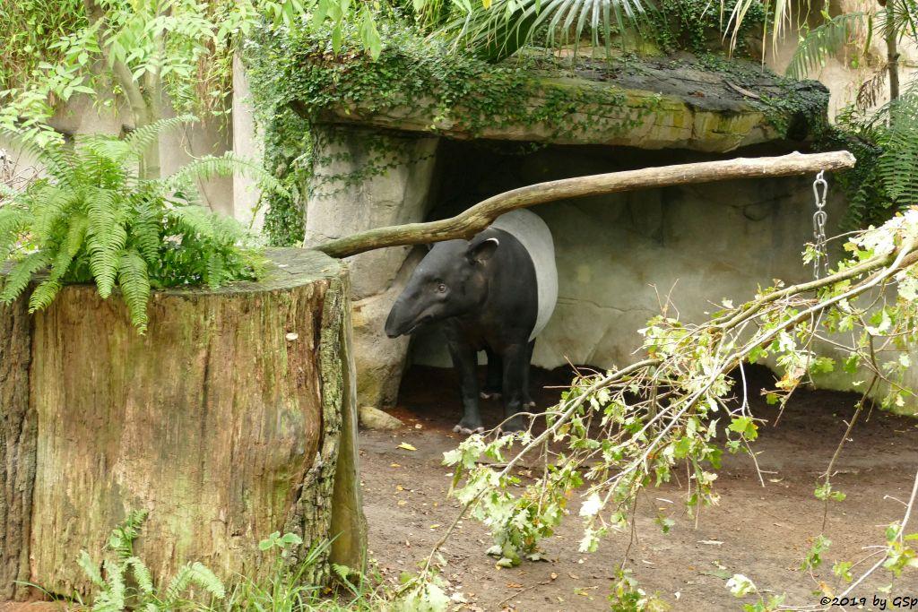 Schabrackentapir (Malaysischer Tapir)