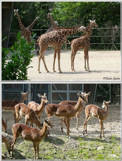 Netzgiraffen und Impalas - 50 Fotos