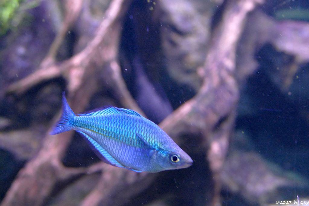 Aquamarin-Regenbogenfisch (Lake-Kutubu-Regenbogenfisch)