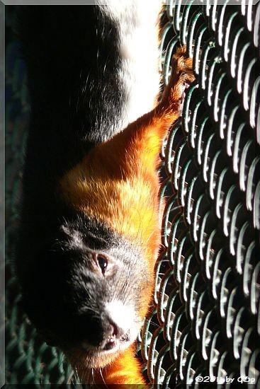 Schönhörnchen