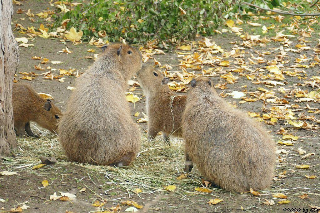 Wasserschwein (Capybara)