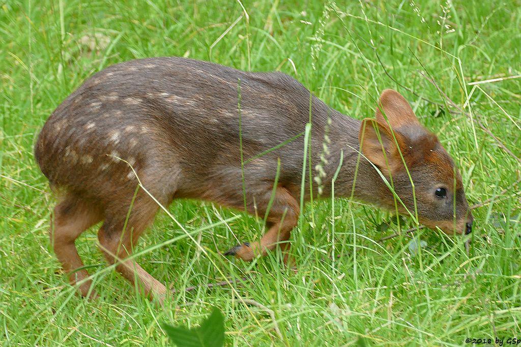 Südlicher Pudu (Südpudu), geb. am 9.5.18 (6 Wochen)
