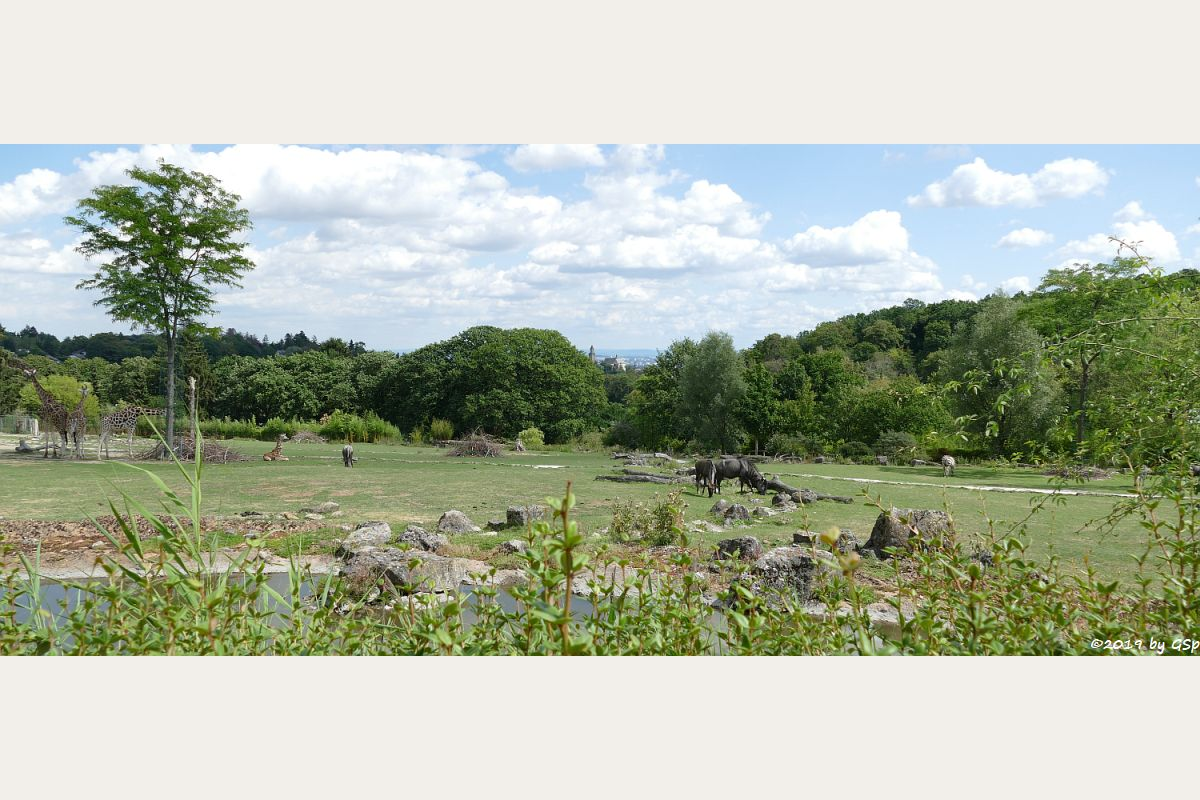Rothschildgiraffe (Uganda-Giraffe, Baringo-Giraffe), Streifengnu, Böhm-Steppenzebra (Grantzebra)