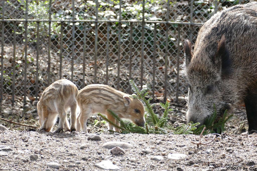 Wildschwein Bache mit Frischlingen