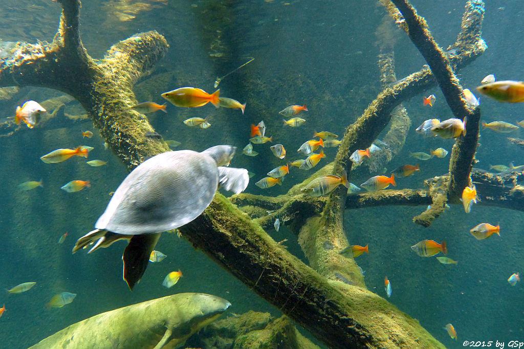 Papua-Weichschildkröte, Korallen-Regenbogenfisch