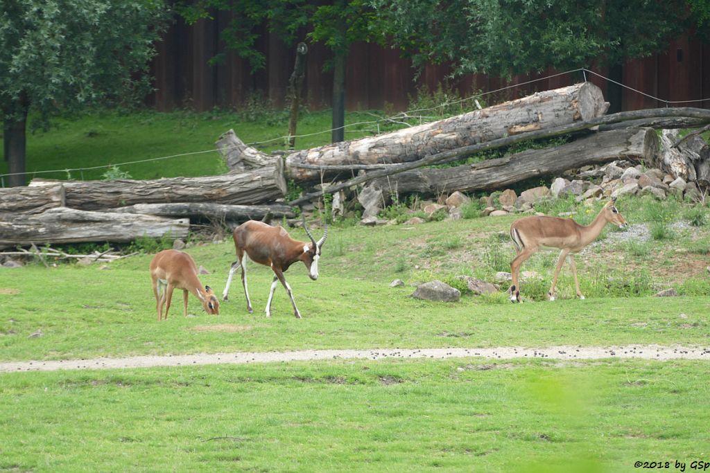 Blessbock, Gewöhnliche Impala (Schwarzfersenantilope)