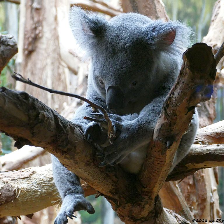 Queensland-Koala TINAROO