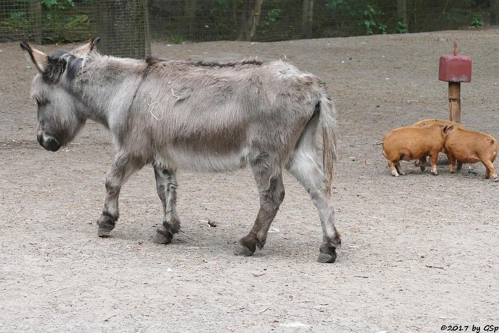 Zwergesel, Kune-Kune-Schwein (Maori-Native)