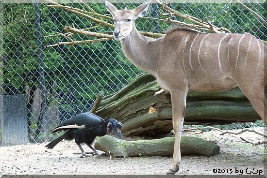 Nördlicher Hornrabe, Großer Kudu