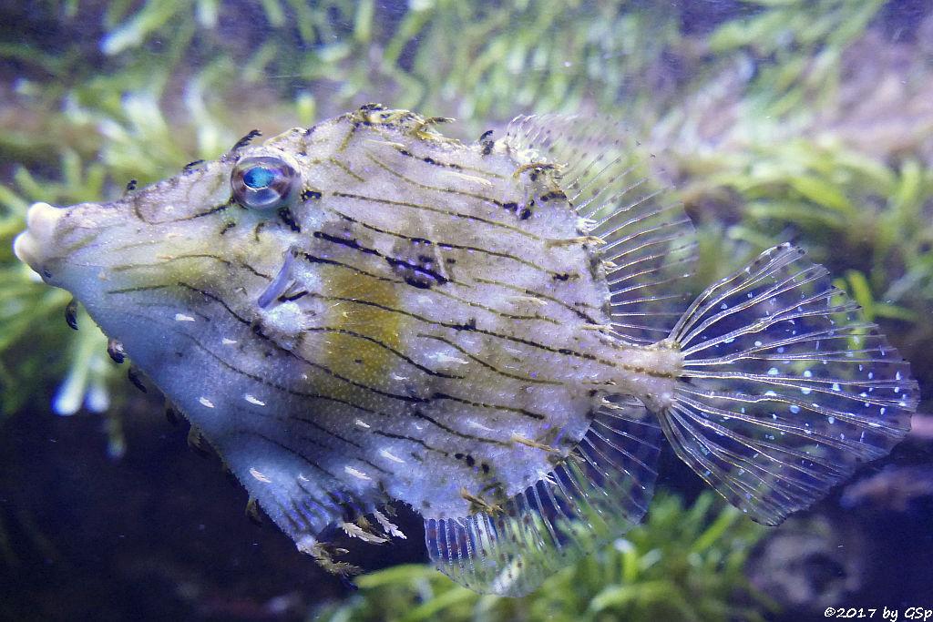 Fransenfeilenfisch (Fetzenfeilenfisch, Schmuckfeilenfisch)