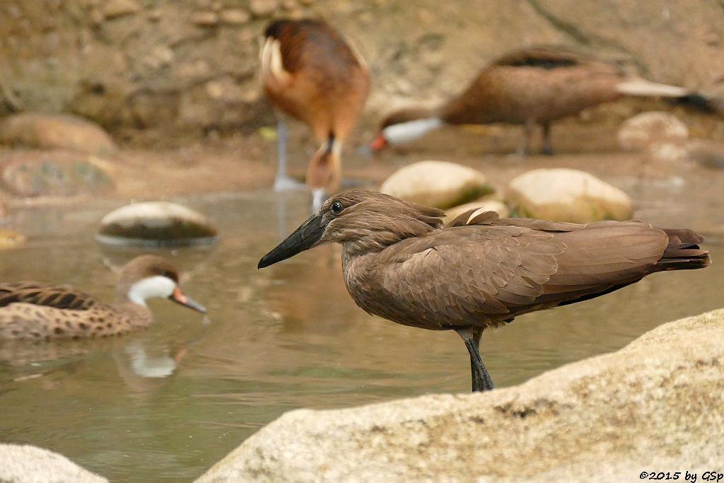 Hammerkopf (Schattenvogel), Gelbbrust-Pfeifgans (Fahlpfeifgans, Gelbe Baumente)