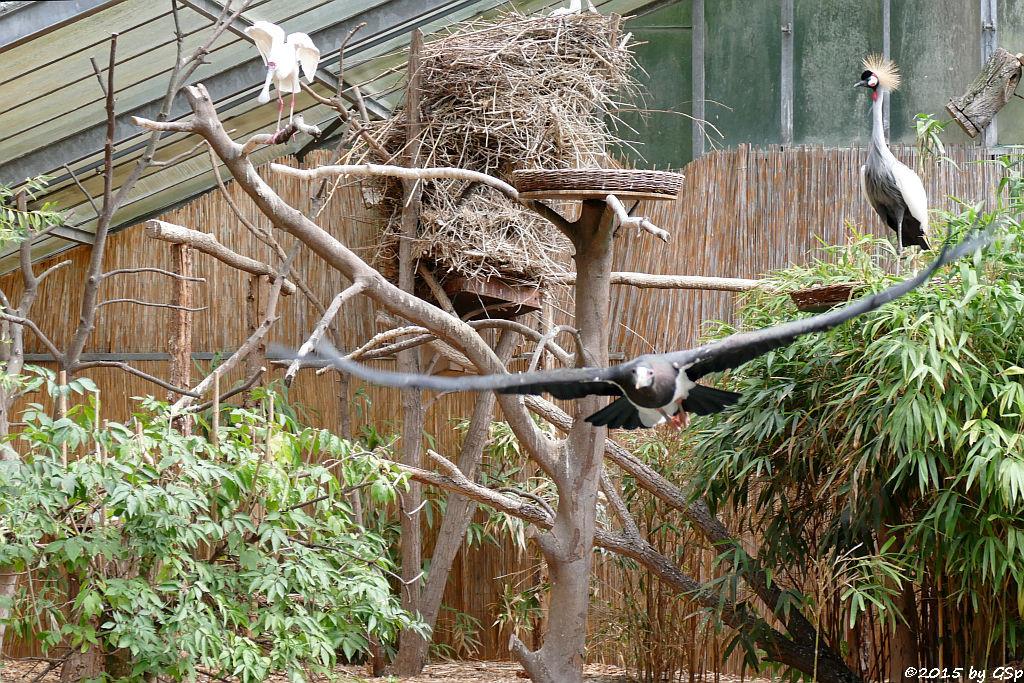 Abdimstorch, Afrikanischer Löffler (Schmalschnabellöffler, Rosenfußlöffler),  Ostafrikanischer Kronenkranich