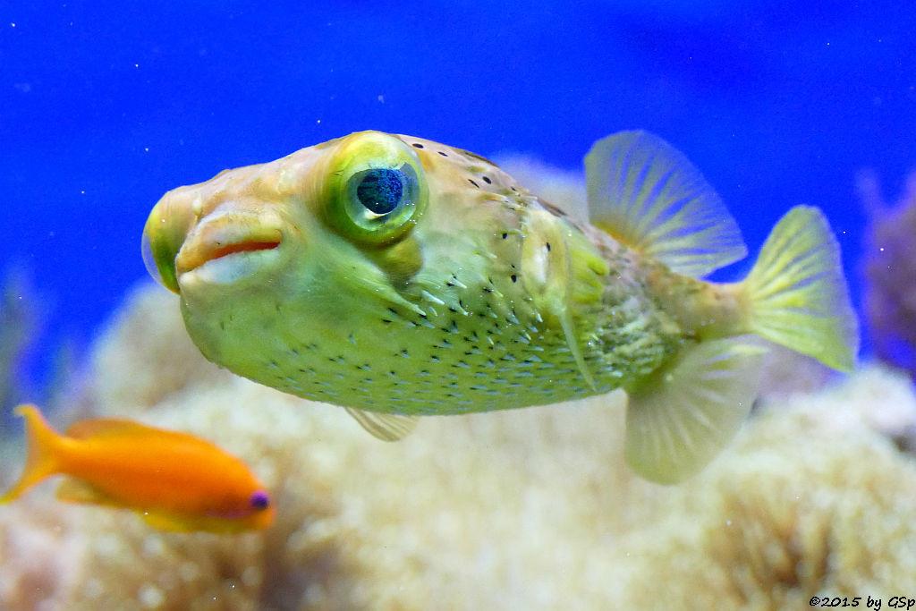 Braunflecken- (Ballon-)kugelfisch, Juwelen-Fahnenbarsch