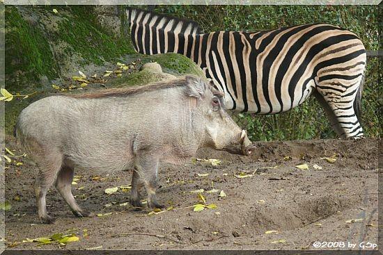Warzenschwein, Chapman-Zebra