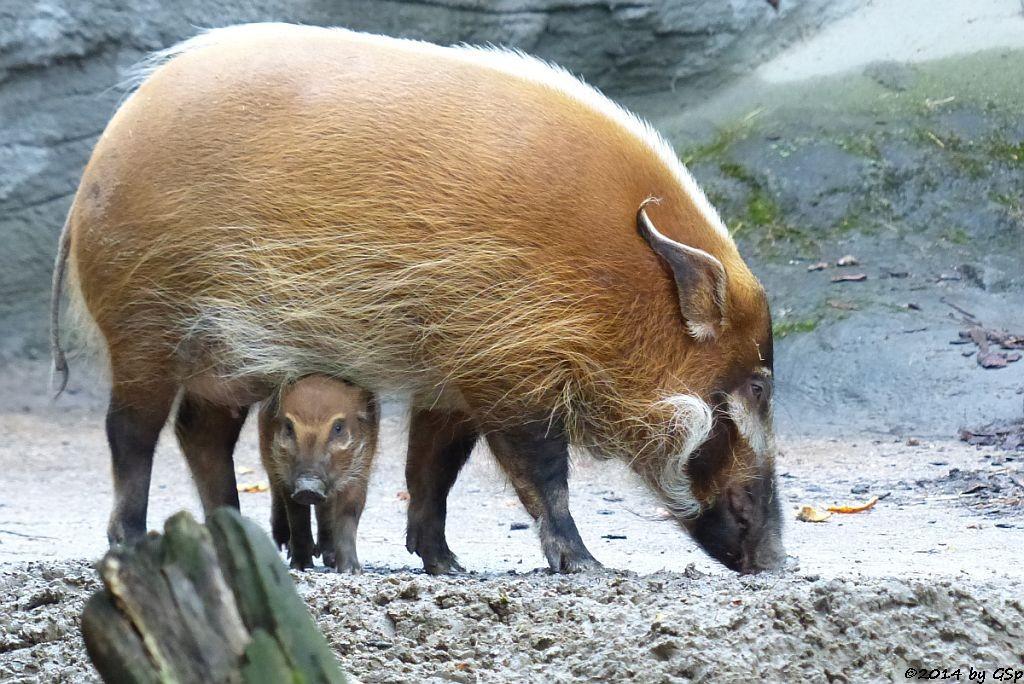 Pinselohrschwein, Jungtier geb. am 19.03.14