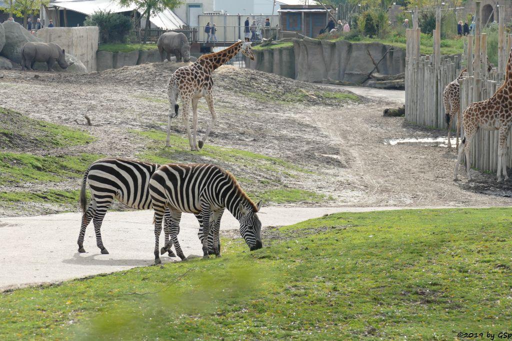Böhm-Steppenzebra (Grant-Zebra), Rothschildgiraffe (Uganda-Giraffe, Baringo-Giraffe), Südliches Breitmaulnashorn