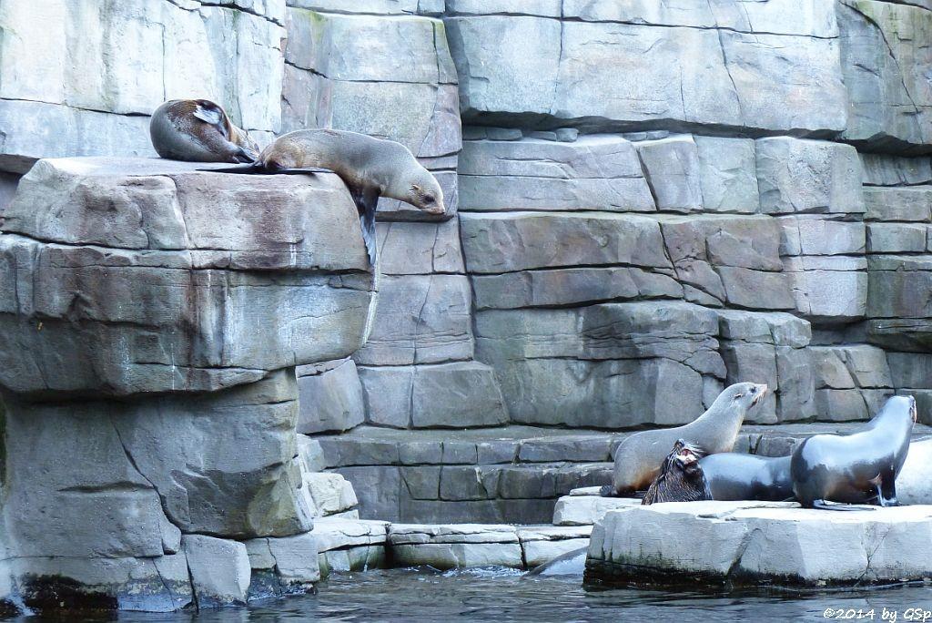 Südamerikanischer SeebärSüdamerikanischer Seebär