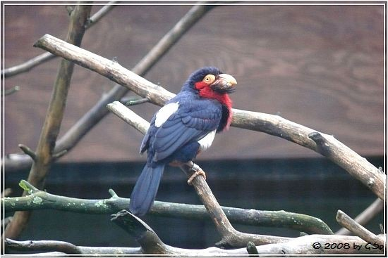 Furchenschnabelbartvogel