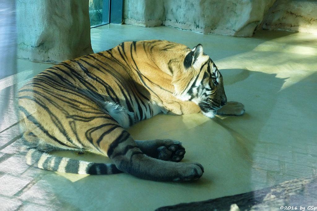 Malaiischer Tiger (Malaysischer Tiger)