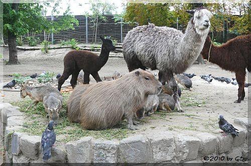 Alpaka, Capybara, Mara