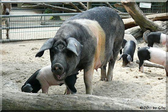 Angler-Sattelschwein, Jungtiere geb. am 7.4.11