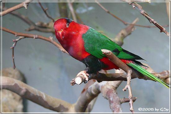Papua-Lori