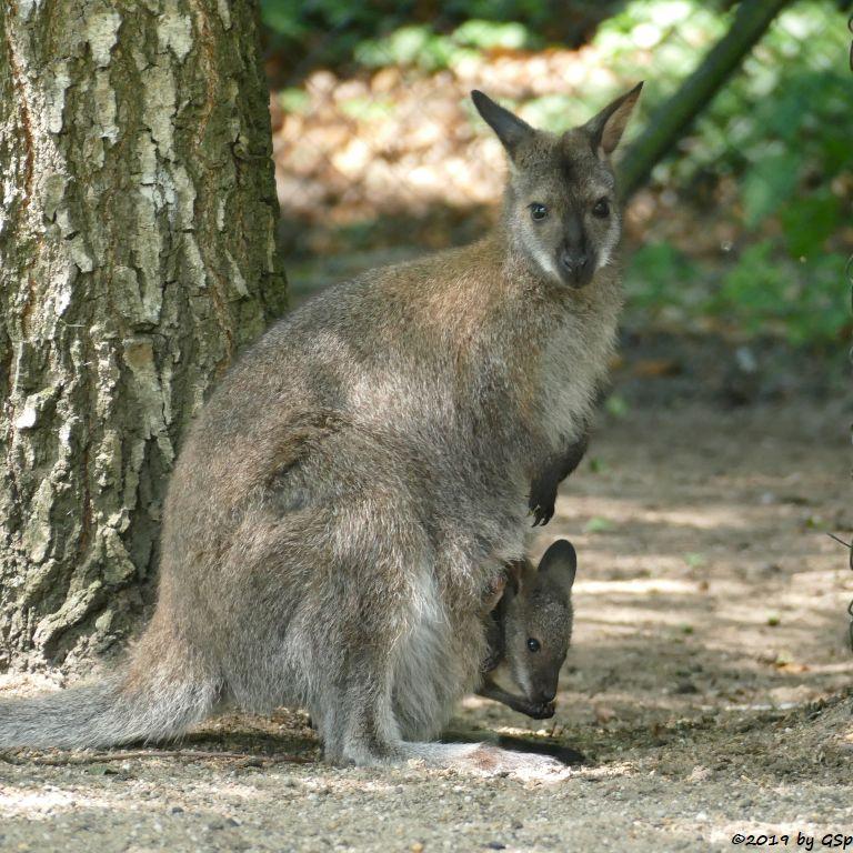 Rotnackenwallaby (Bennettkänguru)