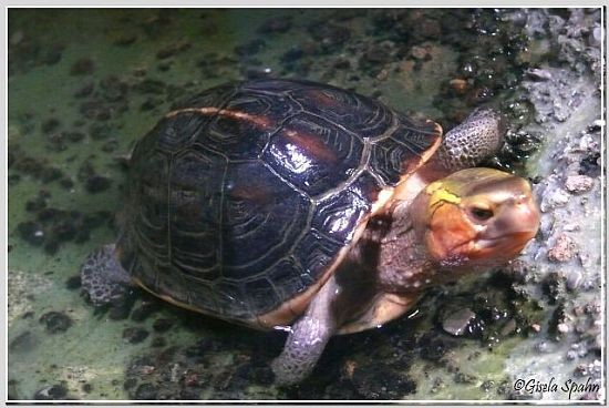 Gelbrand-Scharierschildkröte