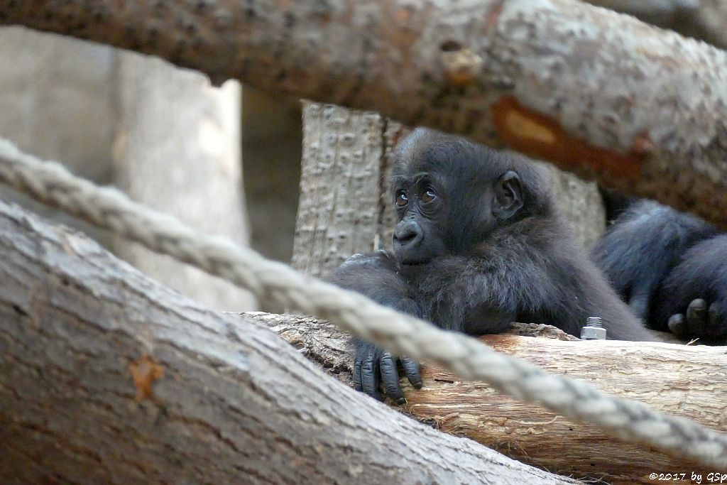 Flachlandgorilla WELA, geb. 15.9.16 (13 Monate alt)
