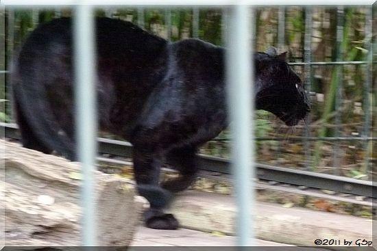 Schwarzer Panther (Leopard)