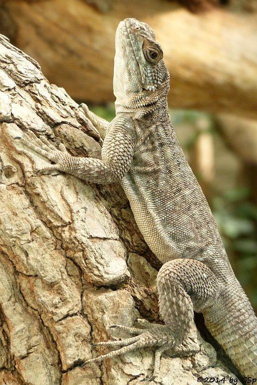 Grandidiers Madagaskar-Leguan