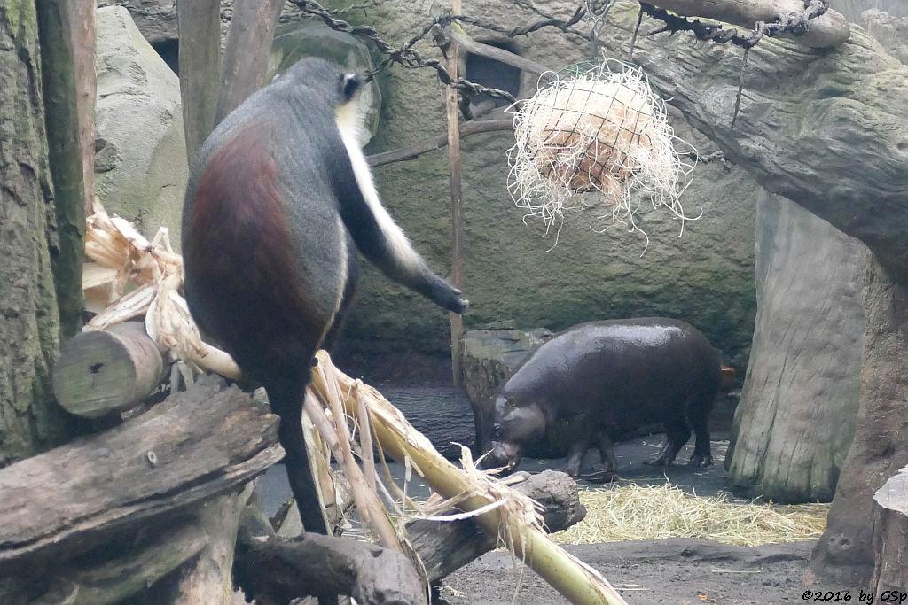 Diana-Meerkatze, Zwergflusspferd