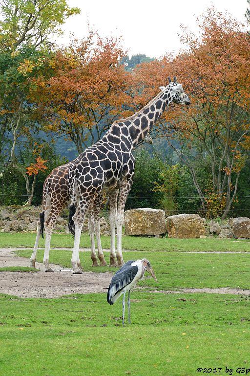 Rothschildgiraffe (Uganda-Giraffe, Baringo-Giraffe), Afrikanischer Marabu