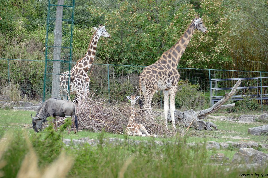 Streifengnu, Rothschildgiraffe (Uganda-Giraffe, Baringo-Giraffe)
