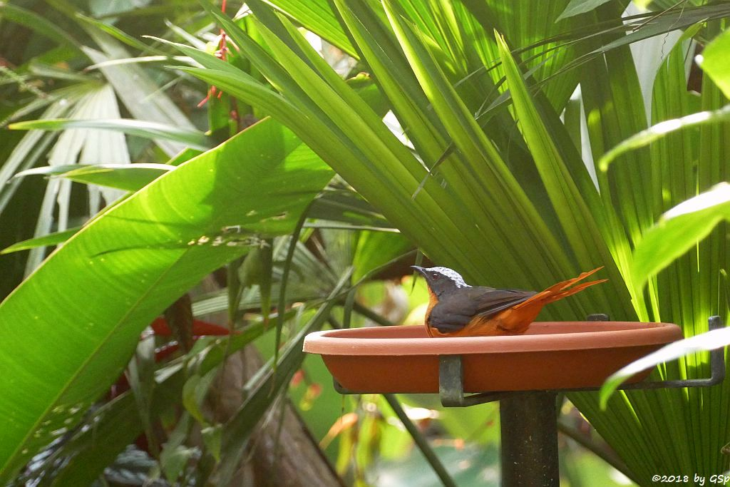 Madagaskarweber