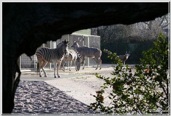 Damara-Zebra, Großer Kudu und Blessbock