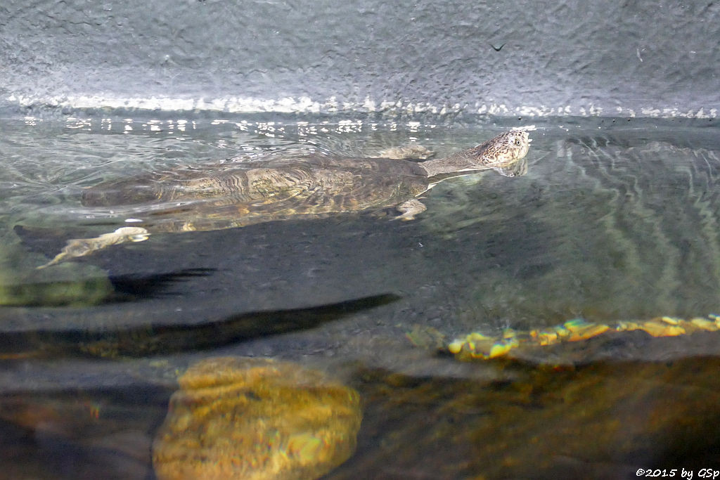 Pelomedusenschildkröte