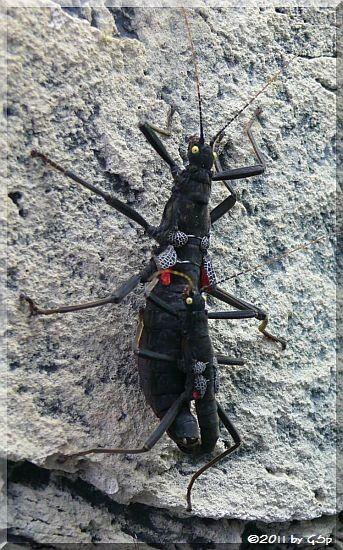 Peru-Stabschrecke